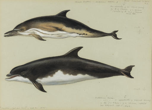 общий дельфин и bottlenose Дельфин, акварель по Archibald Thorburn (1860-1935, United Kingdom)