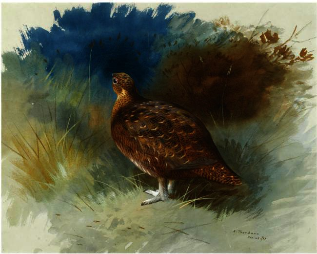 Grouse 1 по Archibald Thorburn (1860-1935, United Kingdom)