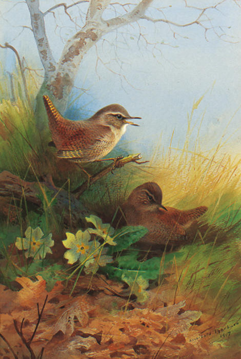 Два Wrens среди Первоцветы по Archibald Thorburn (1860-1935, United Kingdom)