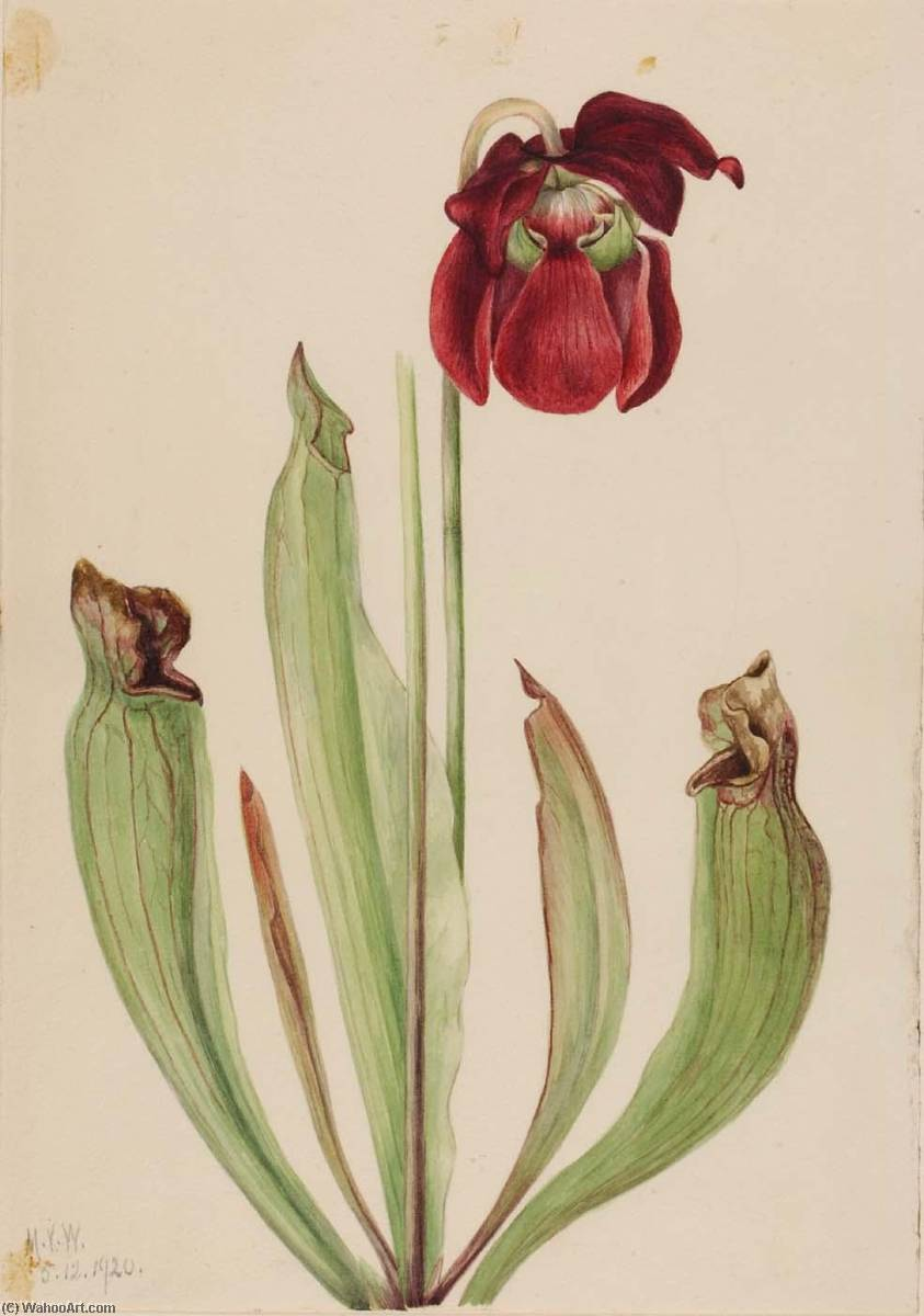Гибридный Pitcherplant ( Sarracenia rubra xs purpurea venosa ), 1920 по Mary Vaux Walcott (1860-1940, United States) | Репродукции Музея | ArtsDot.com